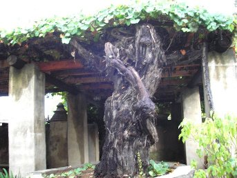 Very Old Grape Vine at Mission San Gabriel